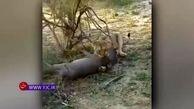 حمله یک گله شیر به پناهگاه گرازها + فیلم