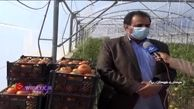صادرات گوجه فرنگی به کشورهای حوزه خلیج فارس + فیلم