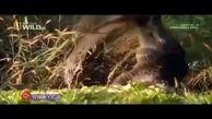 لحظهی شکار کانگورو توسط کروکودیل+ فیلم