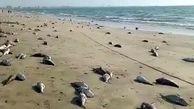 تلف شدن بیش از ۱۰ تن گربه ماهی در ساحل جاسک + فیلم